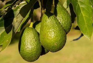 Avocado Plantagen